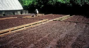 kakao bönana på torkning